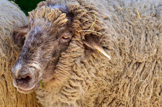 Schafe sind sehr genügsam und eignen sich somit hervorragend zur Landschaftspflege.Foto: gemeinfrei/pixabay